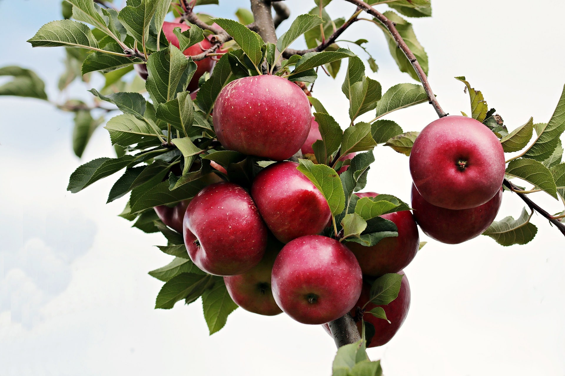 apple health benefits and nutrients