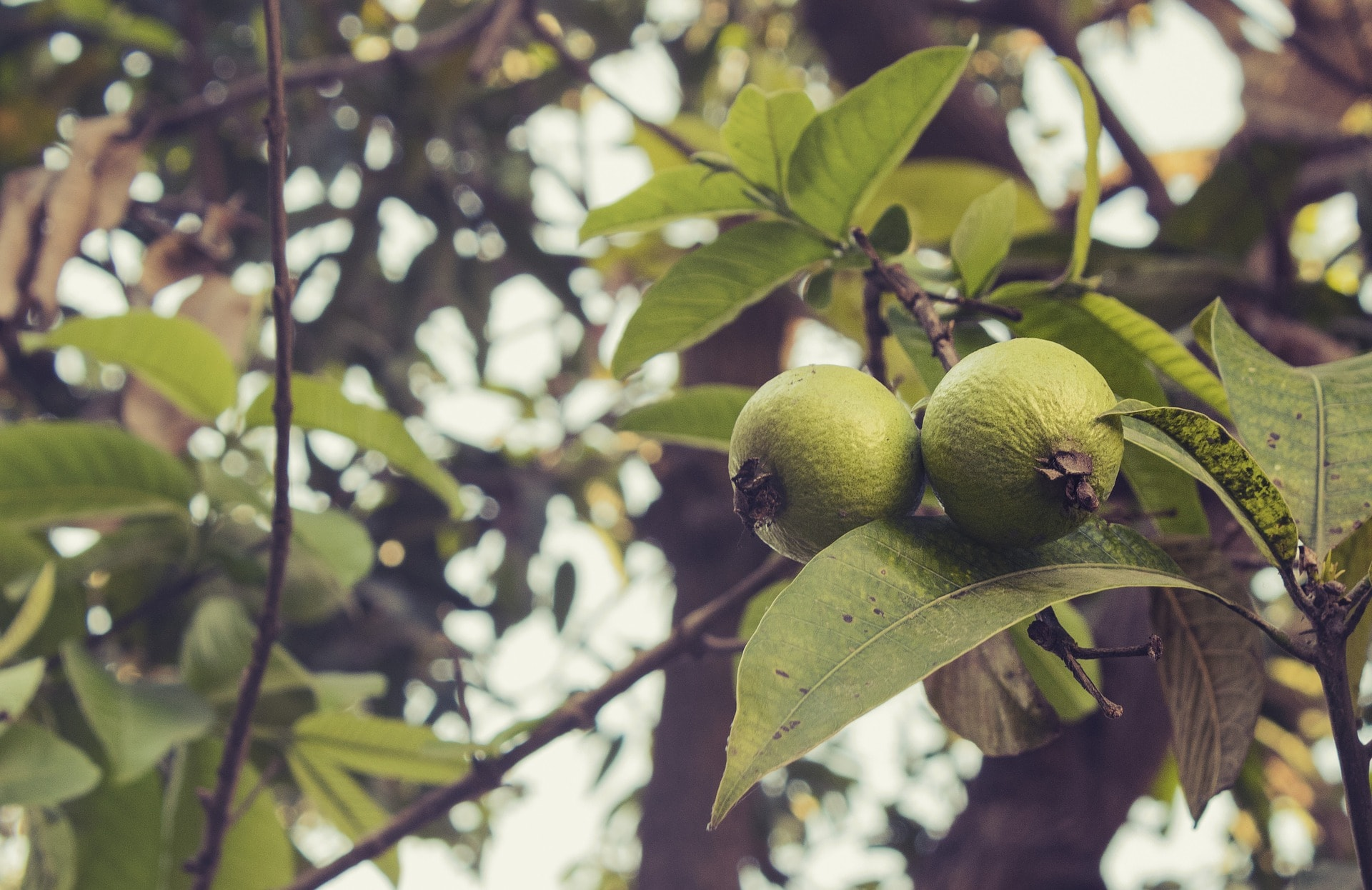 guava leaves benefits for hair skin