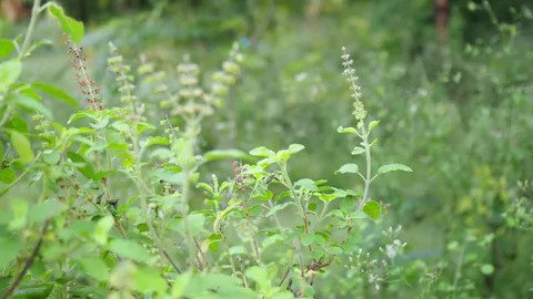 Tulsi Leaves Benefits